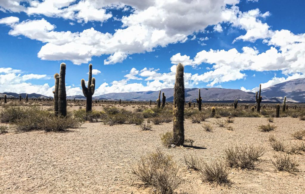 distesa di cactus nel parco nazionale de los cardones a cachi nel nord argentino